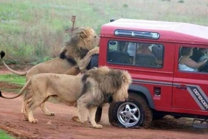 Лев запрыгнул в машину к туристам на сафари