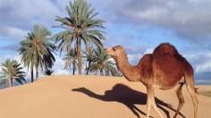На Ближнем Востоке обнаружен «верблюжий грипп»