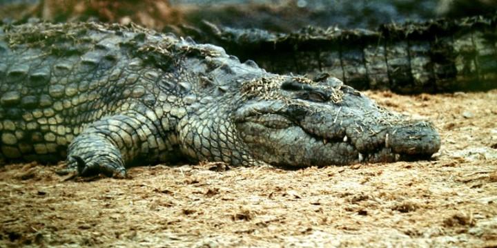 В Австралии крокодил съел туриста