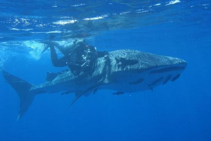 Фестиваль китовой акулы в Мексике