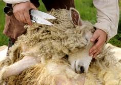В Ванкувере проходят соревнования фермеров  на скорость подстрижки овец