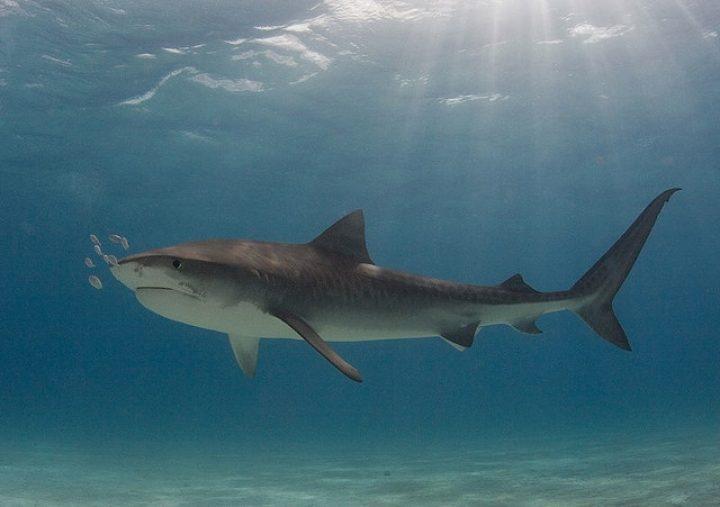 Австралия отменяет эксперимент по уменьшению популяции акул